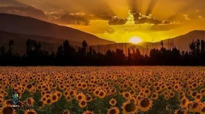 7 مورد از زیباترین مزرعه آفتابگردان در ایران